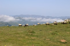 Mountain Sheep Crossing the Pyrenees