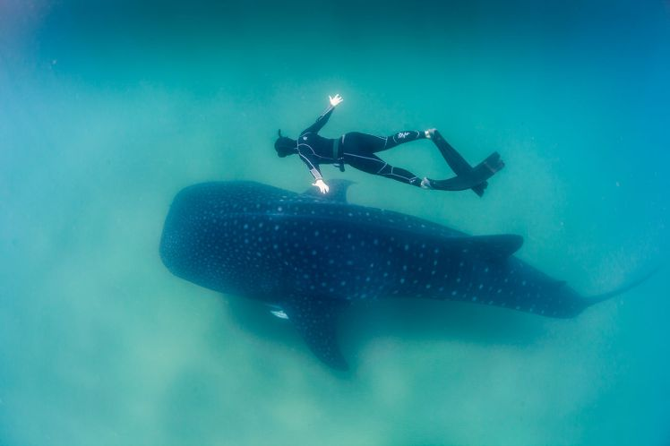 """Whale Shark and Freediver"" by Feefiona123 - Own work. Licensed under CC BY-SA 4.0 via Commons"